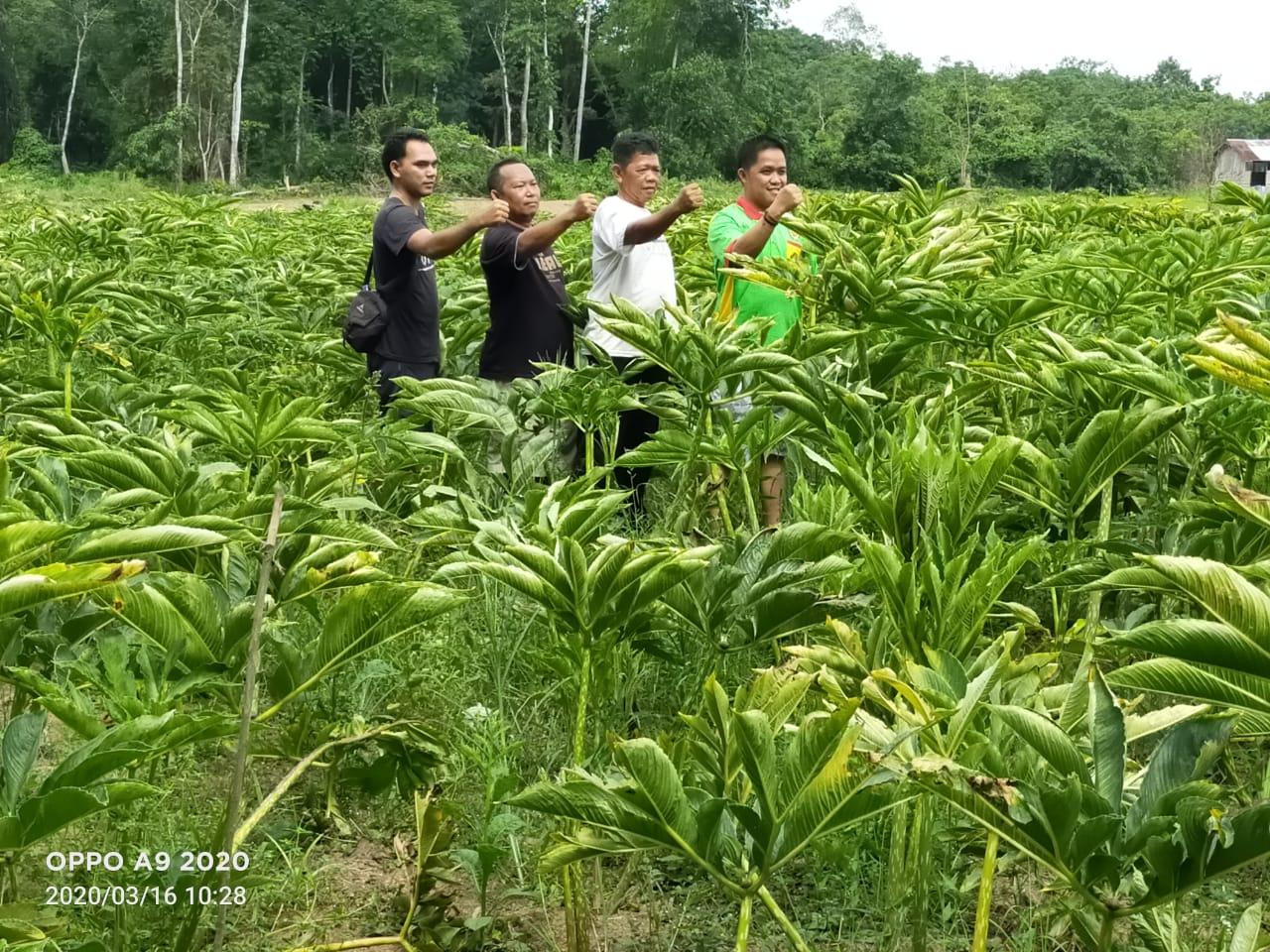 Dinas Pertanian Kembangkan Ubi Porang, Akui Punya Nilai Ekonomi 7